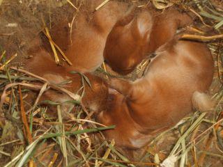 kanin fødsel